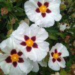 Cistus Alan Fradd - Perennial Plant