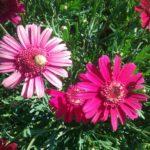 Argyranthemum Raspberry - Perennial Plant