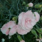 Dianthus Bella - Perennial Plant
