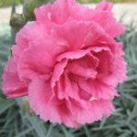Dianthus Valda Wyatt - Perennial Plant