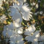 Dianthus masmenaeus - Perennial Plant