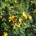 Eutaxia microphylla - Australian Native Plant