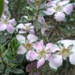 Leptospermum sericeum - Australian Native Plant
