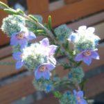 Philotheca nodiflora ssp lasiocalyx - Australian Native Plant