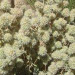 Thymus mastichina - Perennial Plant
