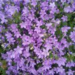 Campanula portenschlagiana - Perennial Plant