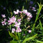 Boronia cymosa - Australian Native Plant