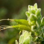 Eremophila subflocculosa Australian native plant