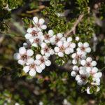 Leptospermum rupestre Australian native plant