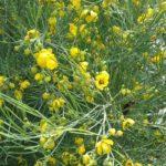 Senna artemisoides Australian native plant