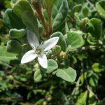 Correa alba pink Australian native plant