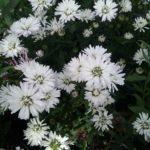 Aster Blue Diamond - Perennial Plant