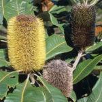 Banksia robur - Australian Native Plant