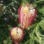 Banksia ericifolia Burgundy Australian native plant