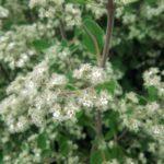 Bystropogon canariensis perennial plant