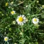 Calotis scapigera - Australian Native Plant