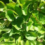 Centella cordifolium - Australian Native Plant