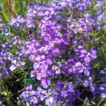 Dampiera trigona Australian Native Plant