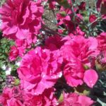 Dianthus Rose Joy perennial plant