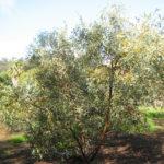 Eucalyptus gypsophila - Australian Native Plant