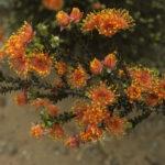 Eremaea beaufortioides Australian Native Plant