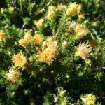 Eremaea pauciflora Australian native plant