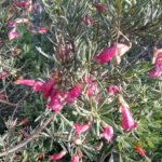 Eremophila alternifolia Australian Native Plant
