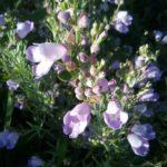 Eremophila drummondii Australian native plant