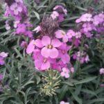 Erysimum Bowles Mauve perennial plant