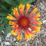 Gaillardia x grandiflora perennial plant