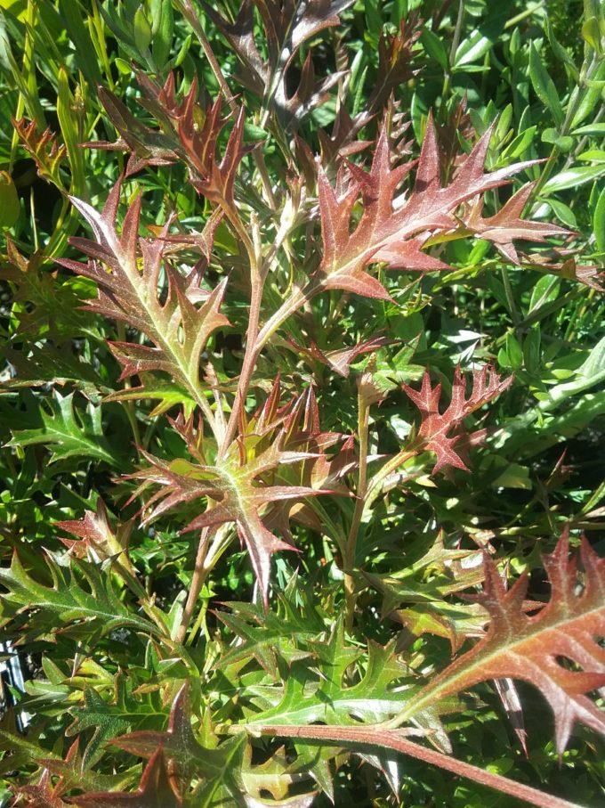 Myrtle Perennial Ground Cover: Grevillea Copper Crest In 68mm Super Tube