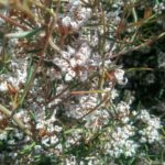 Grevillea umbellata Australian native Plant