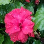 Hibiscus Hiawatha