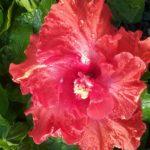 Hibiscus West Coast Red