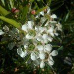 Leptospermum Lemon Frost Australian Native Plant