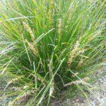 Lomandra Little Pal Australian native plant