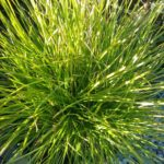 Lomandra Little Con Australian native plant