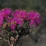 Melaleuca leuropoma Australian Native Plant