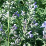 Nepeta Dropmore - Perennial Plant