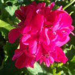Pelargonium calliope Big Pink Perennial Plant