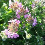 Pelargonium capitatum perennial plant