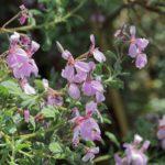 Pelargonium exstipulatum perennial plant