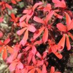 Pelargonium Tangerine - Perennial Plant
