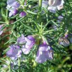 Prostanthera teretifolia Australian native plant