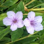 Ruellia humilis perennial plant