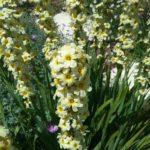 Sisyrinchium striatum - Perennial Plant