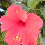 Hibiscus Big Red