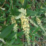 Buddleia Wattlebird Perennial Plant