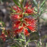 Callistemon Spot Fire Australian Native Plant