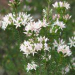 Calytrix tetragona Grampians form Australian Native Plant